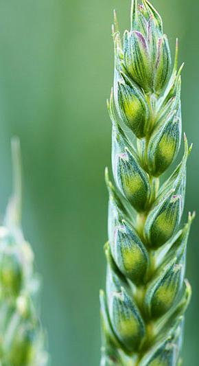 Crop biostimulants to solve abiotic stress – Fyteko 1